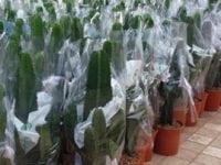 Populære kaktusser