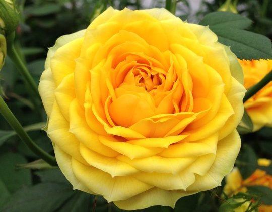 Rosen – romantisk, robust og populær som aldrig før
