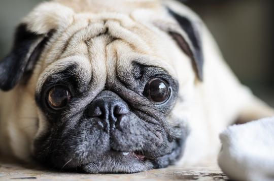 Overvægtige danskere har overvægtige hunde, viser ny forskning