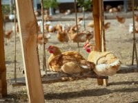 Glade kyllinger, foto: Happy Chicken