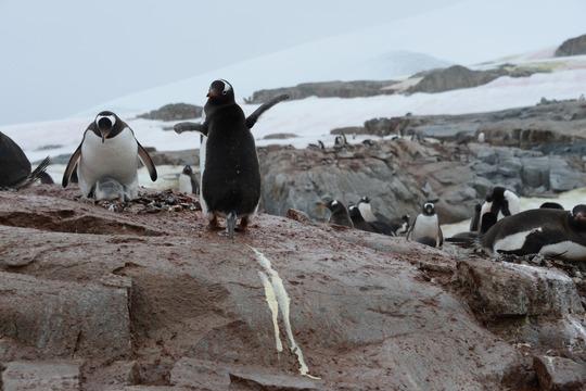 Forskere blev 'plimmelim': Pingviner ved Antarktis udleder ekstreme mængder lattergas