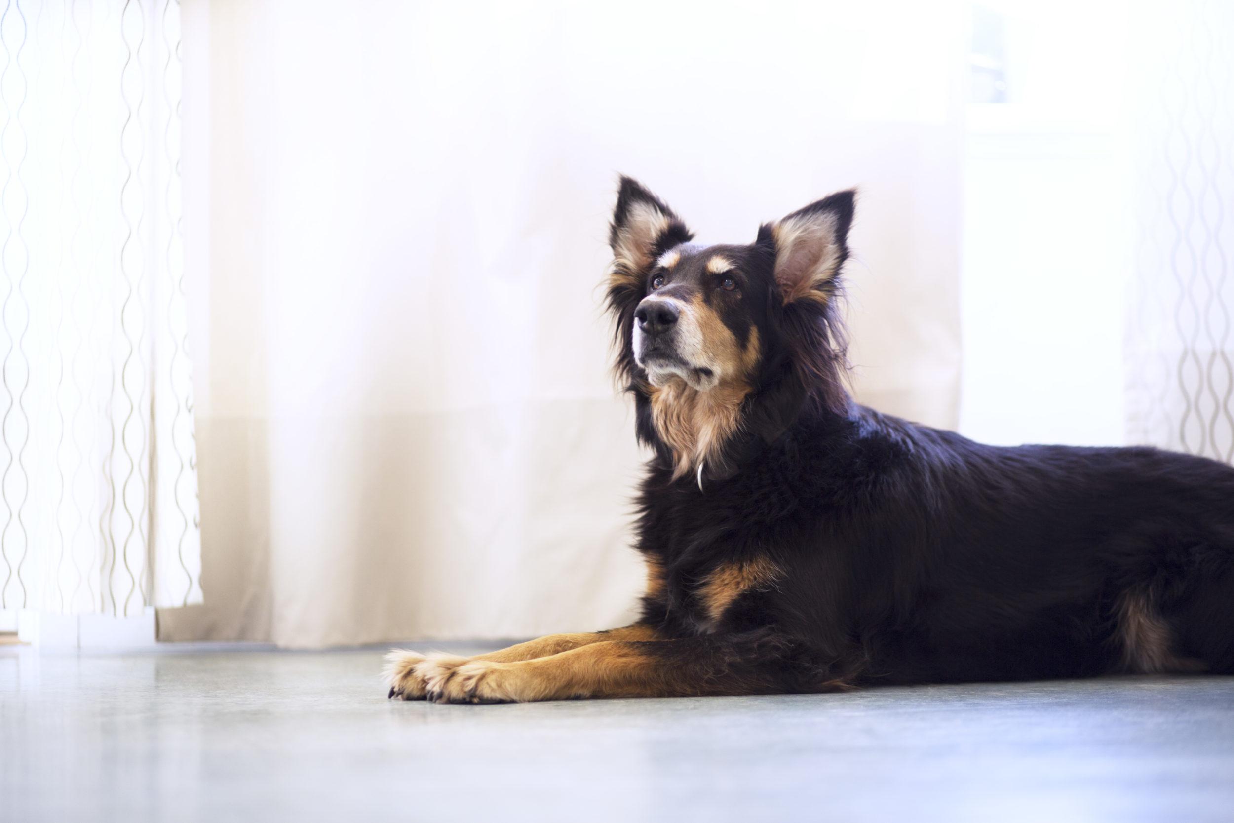 Sådan har coronatiden påvirket dine kæledyr