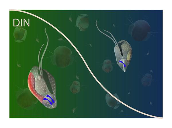 Enkeltcellede alger er langt mere komplekse end tidligere antaget