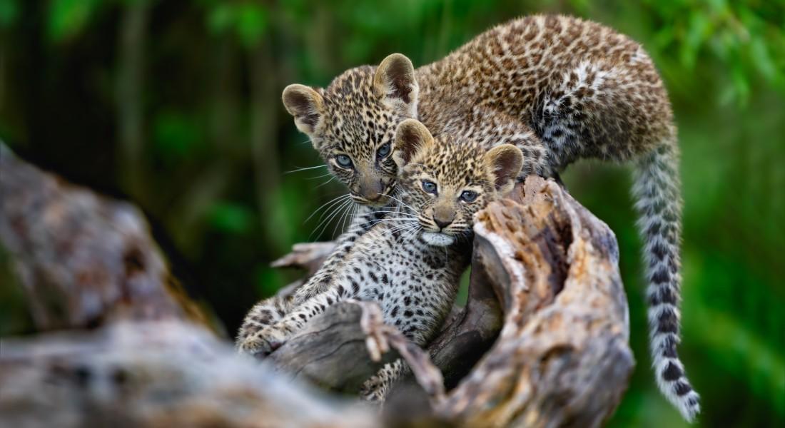 Overraskede forskere: Antallet af leoparder i Nordkina stiger